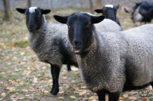 овца романовской породы