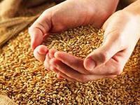 семяна зерновых культур