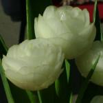 луковые цветы