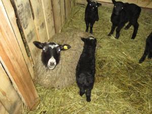 овцы ягнята