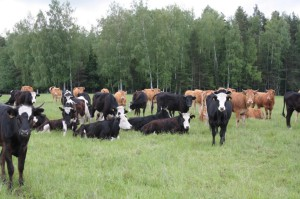 коровы на зеленой траве
