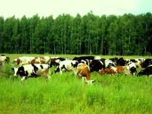 коровы скот айрш голштин