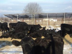 абердин-ангус корова