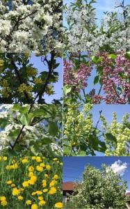 цветут деревья в мае